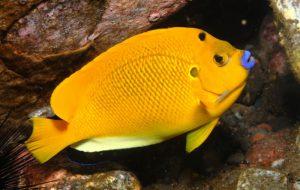 Рыбы ангелы и рыбы-черти