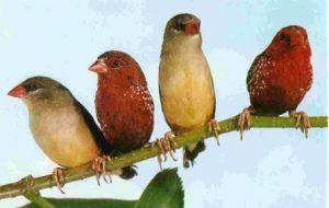 Астрильдовые птицы