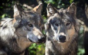Дальние предки современных собак — волки