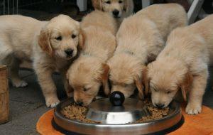 Как правильно кормить щенка?