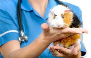 Болезни и лечение морских свинок