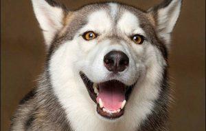 Какие породы собак могут улыбаться?!