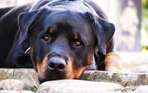 Собака породы — ротвейлер