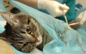 Лапароскопическая стерилизация кошек