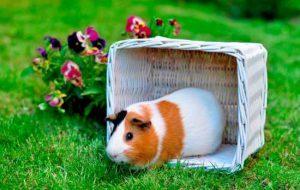 Уход и содержание для долгожительства морских свинок в домашних условиях