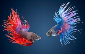 Рыбка-петушок: уход и содержание в домашнем аквариуме