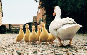 Утки в домашнем хозяйстве: содержание, уход, польза
