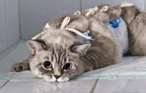 Стерилизация кошки: уход после операции