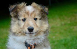 Как выбрать хорошего щенка?
