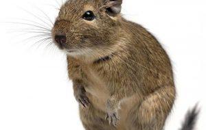 Профилактика и лечение заболеваний крыс и хомяков