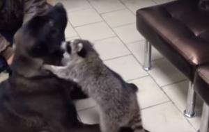 «Пушистый доктор»: енот помогает животным справится с депрессией