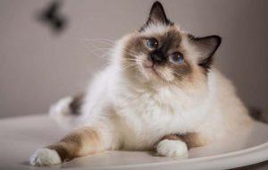 Породы кошек, которые любят и уживаются с собаками