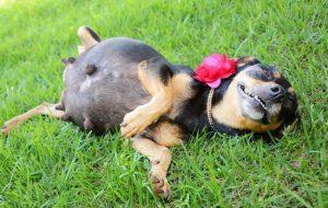 Сколько времени собака вынашивает щенков: от чего зависит срок щенности