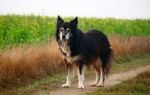 Кормление пожилых собак