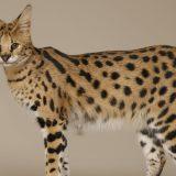 Самые дорогие дикие кошки в мире