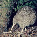 Птица киви: что за чудо природы?