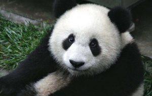 Большая панда, или Бамбуковый медведь
