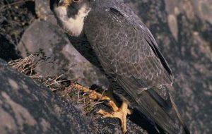 Соколы — быстрые и ловкие птицы