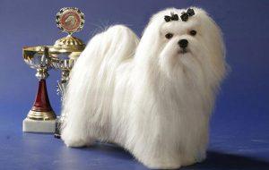 Бабезиоз (пироплазмоз) у собак: симптомы и лечение