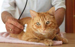 Мочекаменная болезнь у котов