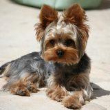 Порода собак — йоркширский терьер