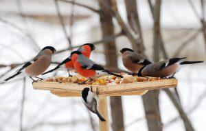 как помочь птицам зимой