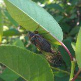 Сладкозвучная цикада