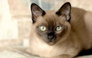 Особенности содержания тонкинской кошки
