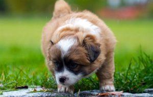 Почему щенок ест свои экскременты?