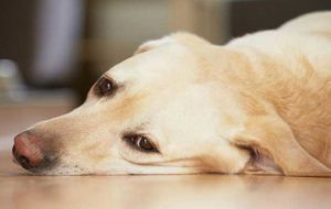 Собаку рвет пеной: почему стоит беспокоиться и что делать