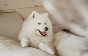 Уход за собакой породы самоед