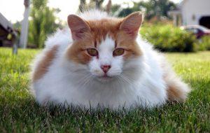 Как содержать кота породы турецкий ван?
