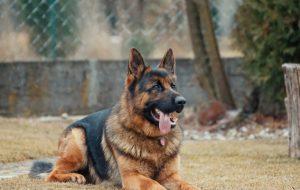 Сторож о четырех лапах: как выбрать собаку для охраны дома