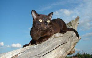 Бурманская кошка, особенности породы