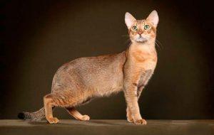 Чаузи — необычная и интересная порода кошек