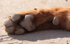 Пятые пальцы у щенков на задних лапах