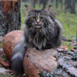 Порода кошек мэйн-кун: основные отличия, плюсы и минусы