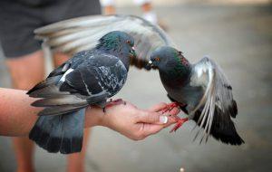 Как приручить голубей?