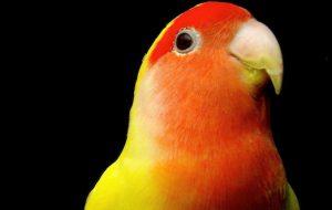 Особенности содержания попугая неразлучника