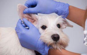 Почему собака часто трясет ушами