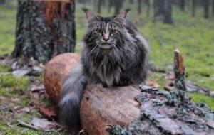 Чем кормить котенка мейн-куна?