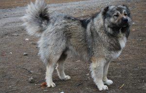 Кавказская овчарка: методы дрессировки