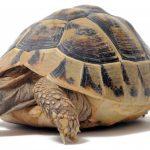 Черепахи: содержание и уход