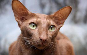 Особенности ухода за кошкой яванской породы