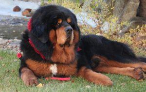 Разновидности породы собак дог