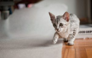 Особенности породы кошек Египетский мау