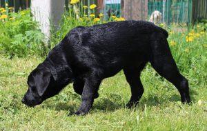 Немецкие доги: собаки «королевских» кровей
