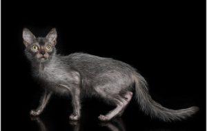 Ликой (кошка оборотень)
