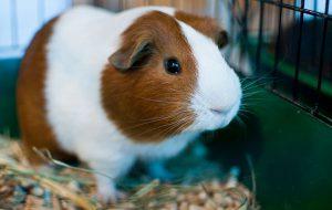 Морские свинки — содержание, уход и кормление