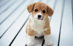 Покупка щенка: о чем стоит задуматься